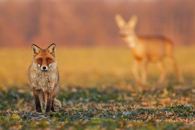 Mannelijke vos die zich op het gebied bevinden en met reeën op de achtergrond letten letten op.