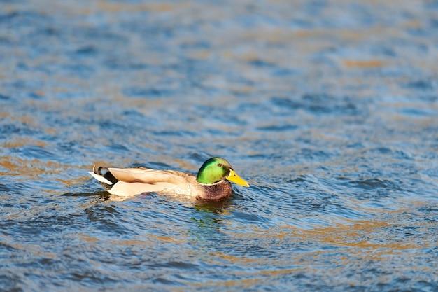 Mannelijke wilde eend watervogels die in vijver of rivier ploeteren