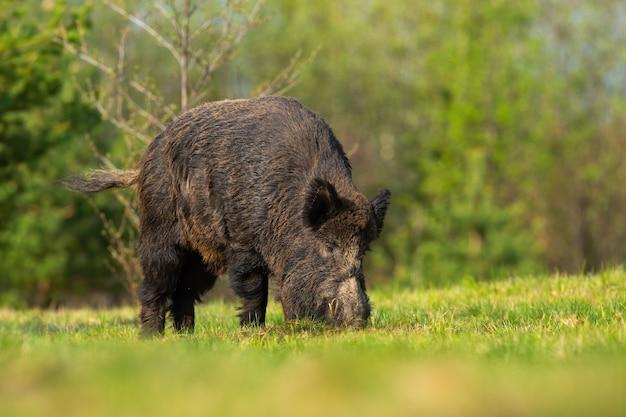 Mannelijke wilde zwijnen voeden met een weiland met groen gras in de lenteaard