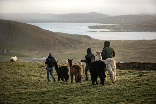 Mannen lopen lama's op het veld met een meer en bergen