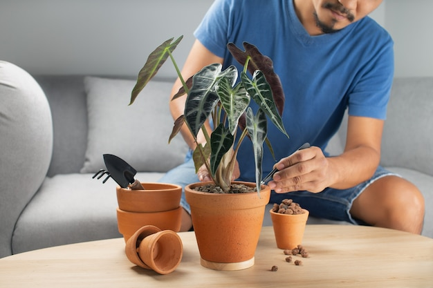 Mannen tuinmannen hand overplanten alocasia bambino pijl of alocasia sanderiana stier in klei pot op de houten tafel. concept van huistuin.