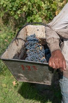 Mannen vervoeren druiven in wijngaarden