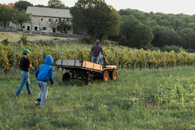 Mannen verzamelen druiven in het veld
