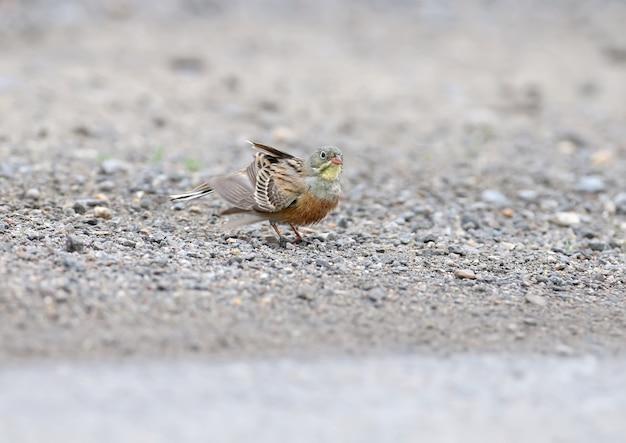 Mannetje en vrouwtje een ortolangors die in een plas op de weg zwemt en veren droogt. grappige foto's van dichtbij