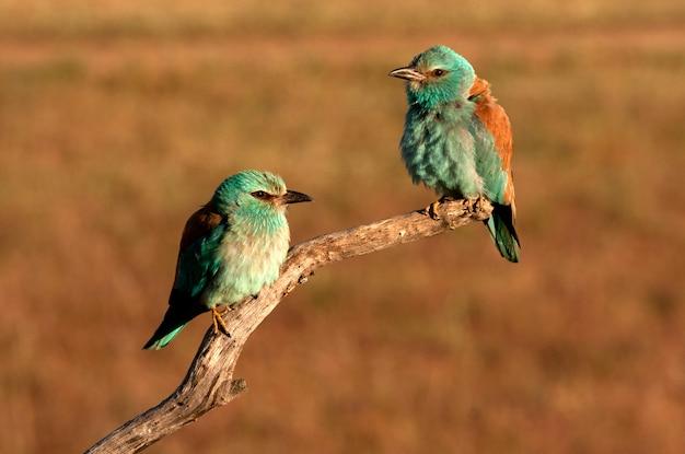 Mannetje en vrouwtje van europese roller met de eerste lichten van de dag in de paartijd, vogels, coraciformen, coracias garrulus