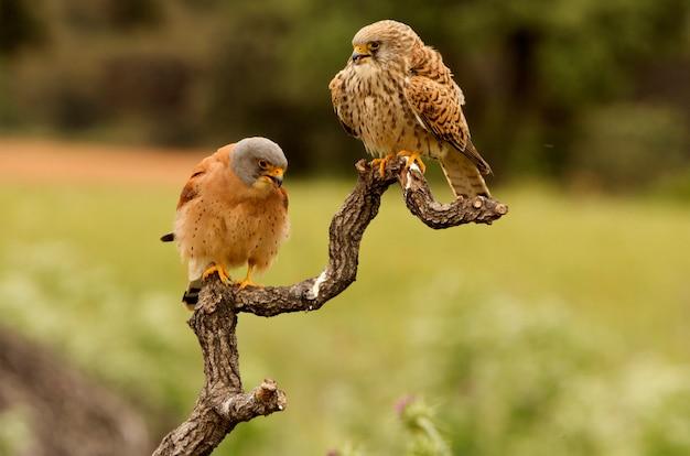 Mannetje en vrouwtje van kleine torenvalk in de paartijd, valk, vogels, roofvogel, havik, falco naunanni