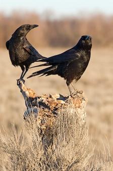 Mannetje en vrouwtje van zwarte kraai met de eerste lichten van de dag, raaf, kraai, vogel, corvus corone