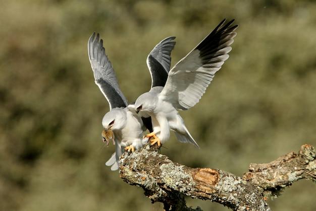 Mannetje en vrouwtje van zwartschoudervlieger die een muis in het broedseizoen verwisselt met de eerste lichten van de dag, kie, havik, valk, vogel, elanus caeruleus