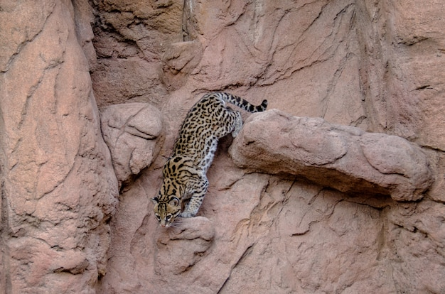 Mannetje ocelot klimt langs de zijkant van een klif