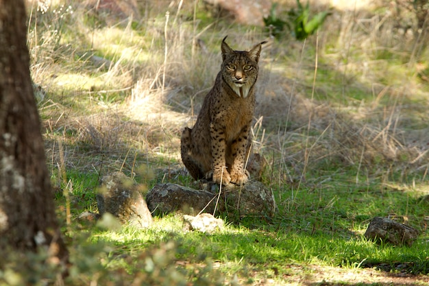 Mannetje van iberische lynx, bobcat, wilde kat, lynx pardinus, lynx