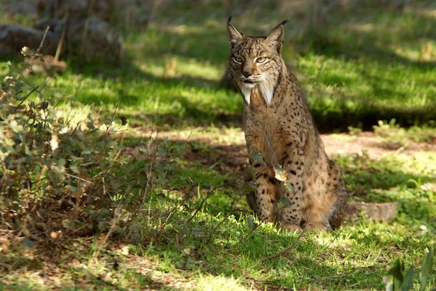 Mannetje van iberische lynx in de mistige, bobcat, wilde kat, lynx pardinus, lynx