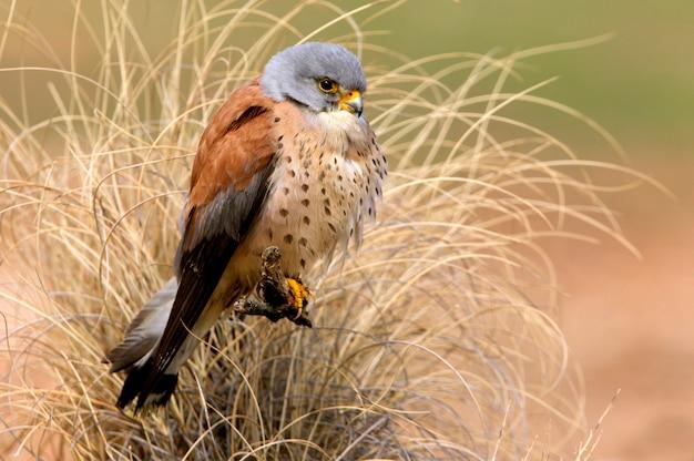Mannetje van kleine torenvalk, valk, vogels, roofvogel, havik, falco naunanni