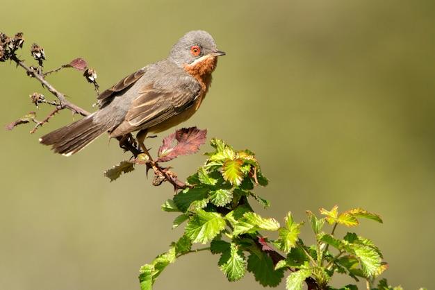 Mannetje van subalpiene grasmus met de eerste lichten van de dageraad, grasmus, vogels, sylvia cantillans