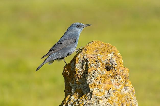Mannetjes blauwe rotslijster in bronst verenkleed met het laatste daglicht in zijn broedgebied