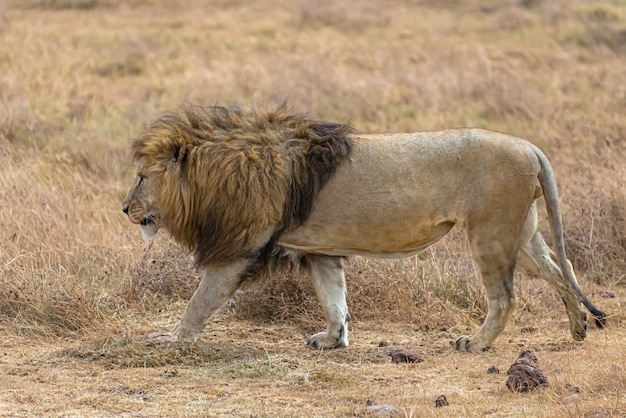 Mannetjes leeuw wandelen in een droog grasveld overdag