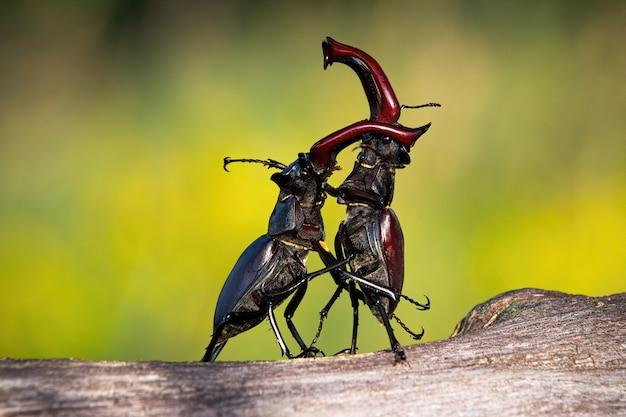Mannetjeskevers die rechtop staan tijdens een territoriaal gevecht