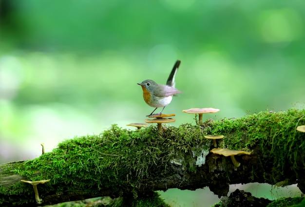 Mannetjesvliegenvanger met rode borst (ficedula parva) vormt op een met mos bedekte boomstam van paddestoelen. ongewone close-ups en foto's met zacht licht in kleur.