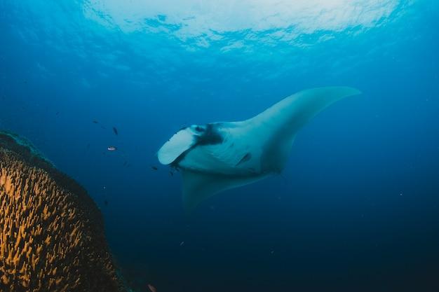 Manta ray filter voedt boven een koraalrif in de blauwe wateren