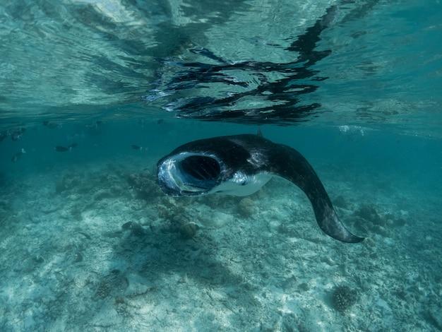 Manta ray in het koraalrif