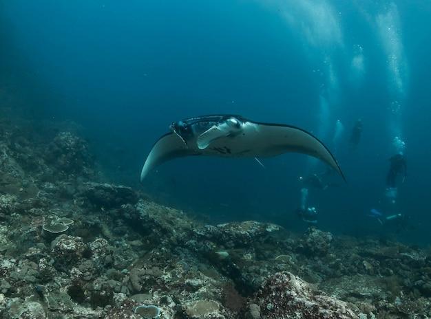 Manta ray in th koraalrif