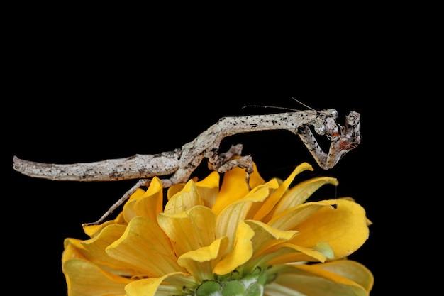 Mantis op gele bloem met zwarte achtergrond