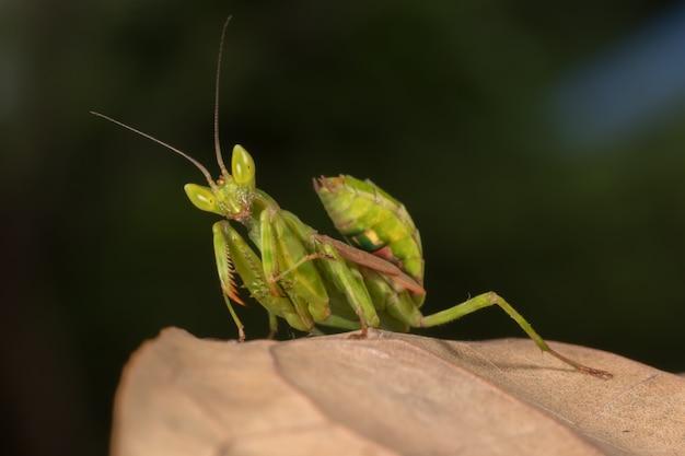 Mantis op takboom