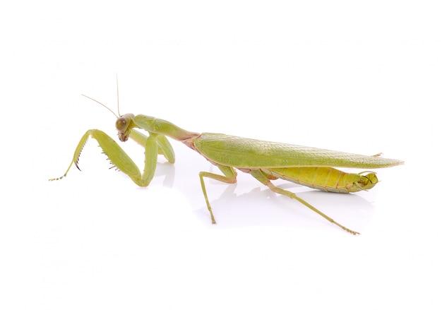 Mantis op wit