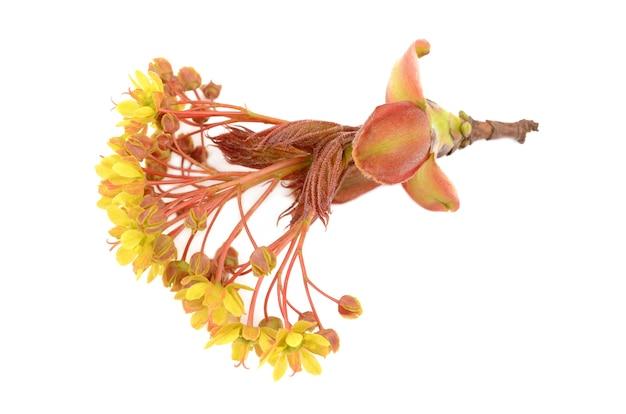 Maple bloemen