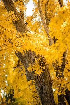 Maple bomen planten