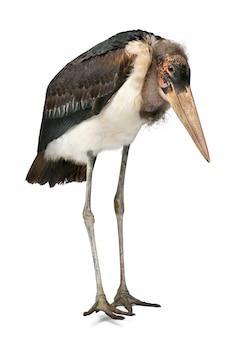 Marabou stork, leptoptilos crumeniferus, 1 jaar oud, staande voor witte achtergrond