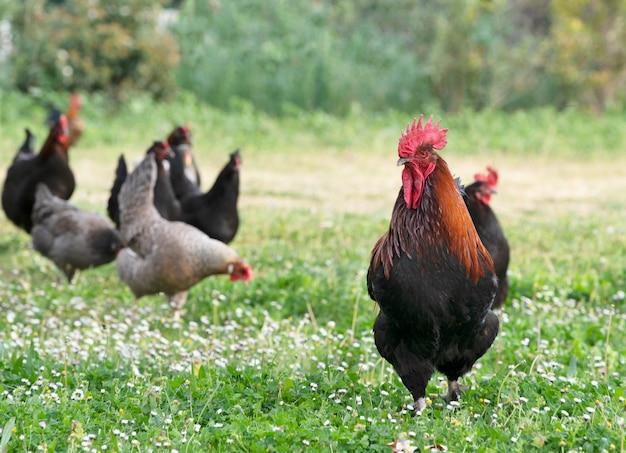 Marans kip in een tuin in het voorjaar