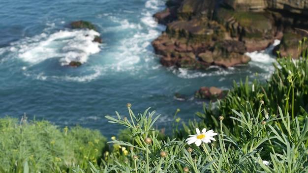Margrieten in gras, golven van de stille oceaan. wilde bloemen op klif. marguerites in bloei in la jolla.