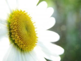 Marguerite, bloem
