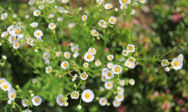 Marguerite daisy-bloem in tuin.