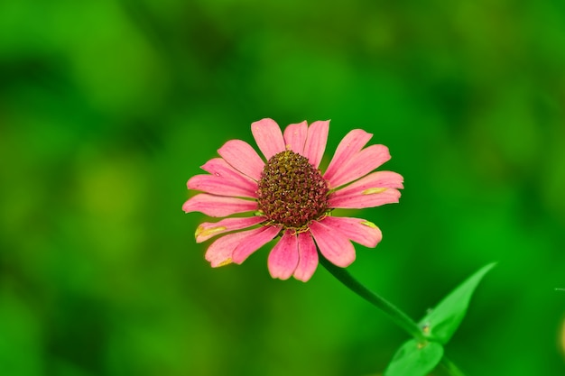 Marguerite daisy in roze bloemblad