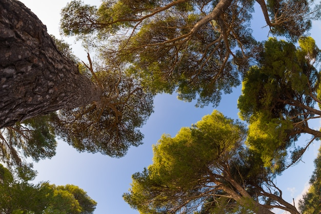 Marien dennenbos en heldere hemel, fisheye uitzicht van onderen