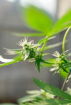 Marihuana bladeren, cannabis op een donkere achtergrond