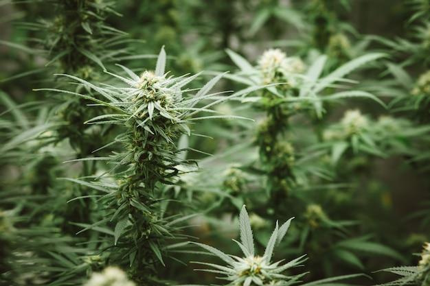Marihuana bloemknop achtergrond