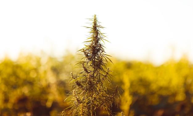 Marihuana, cannabisplant voor de oogst in de zon. een silhouetplant voor het kweken in het open veld. warme tinten van de ondergaande zon