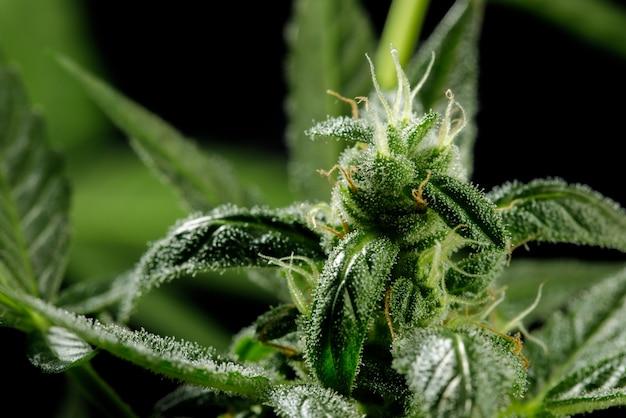 Marihuana laat wietplanten een prachtige achtergrond achter