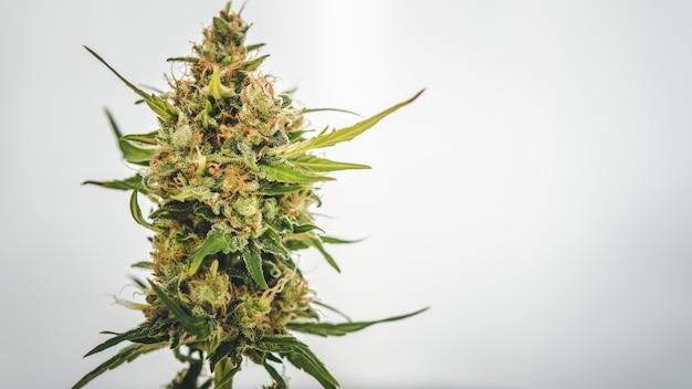 Marihuana ontluikt close-up op witte achtergrond