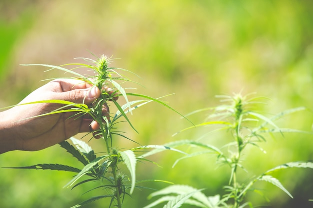 Marihuanabladeren, cannabis op mooie achtergrond.
