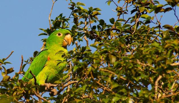 Maritaca, braziliaanse vogel met de naam maritaca op de takken van een jaboticababoom.