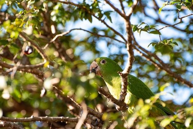 Maritaca, braziliaanse vogel met de naam van maritaca in een jabuticabeira die jabuticabas eet, selectieve aandacht. Premium Foto