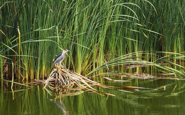 Martinete-vogel die op brunches van totoraplanten staat boven een lagune in pantanos de villa chorrillos lima peru