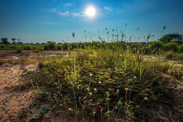 Massa van gras wilde bloem een warm licht in zonsondergang op natuurlijke achtergrond.