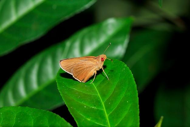 Matapa-aria op de bladeren
