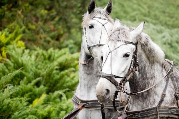 Matched paar alert gevlekte grijze paarden in een werkend trekharnas voor gebruik bij het trekken van een koets of wagen of in de landbouw om uitrusting te trekken Premium Foto