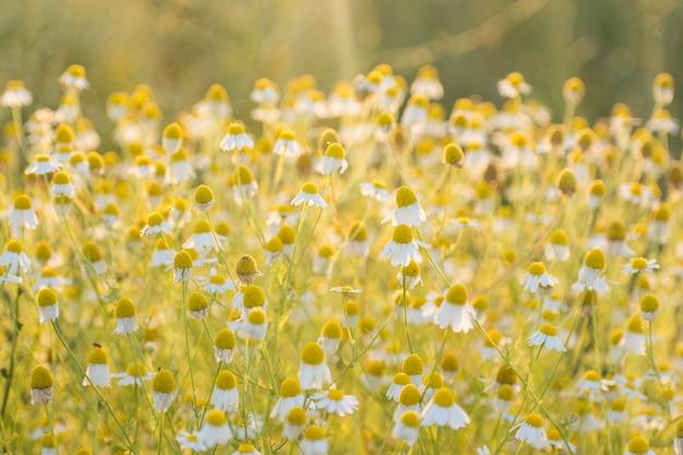 Matricaria-kamille in bloei-aromatische clusters van bloemen van lange beslopen hoofden op zonlicht