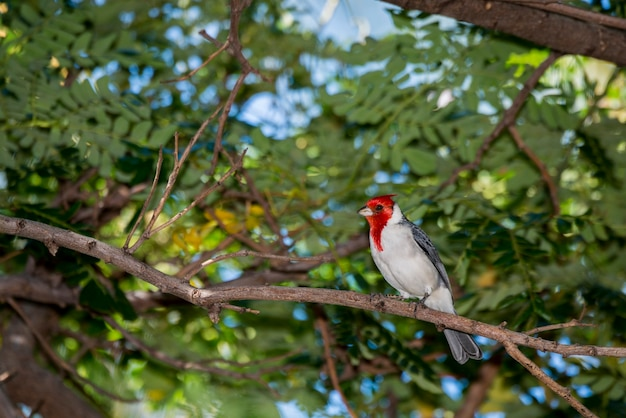 Maui, hawaii. kardinaal met rode kuif, paroaria coronata zat op een boomtak.